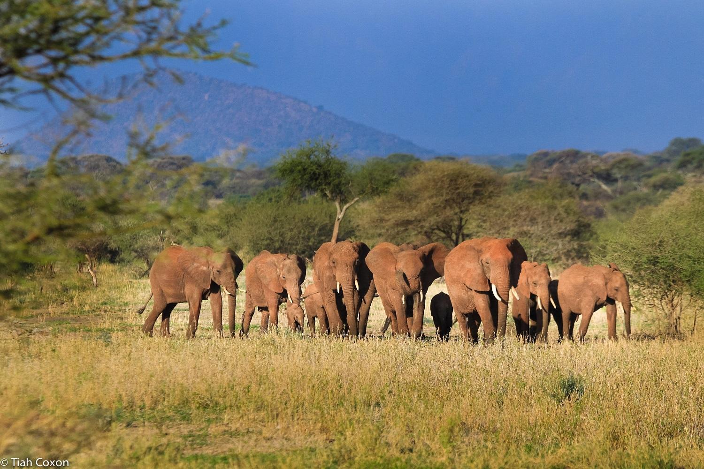 Elephants_tarangire-park-tanzania