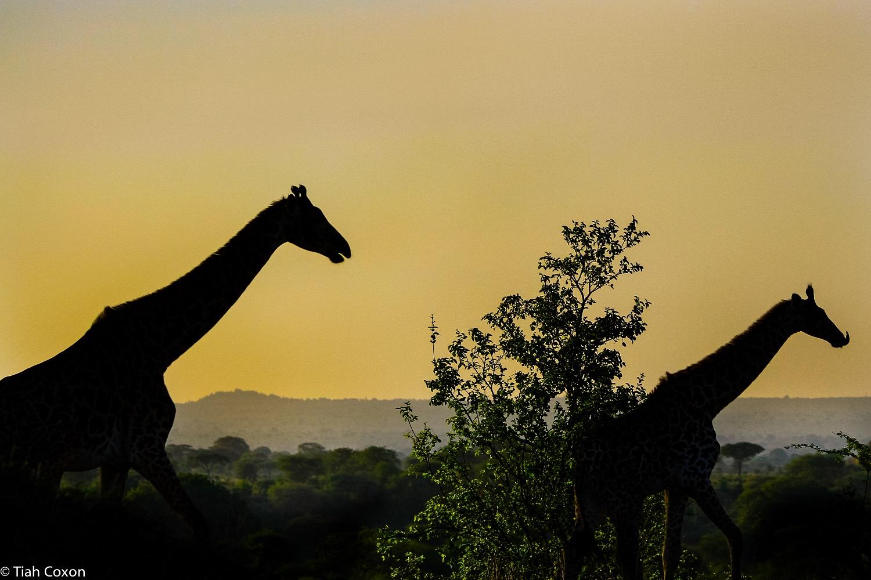 Masaai-giraffes-sunrise-tarangire-park