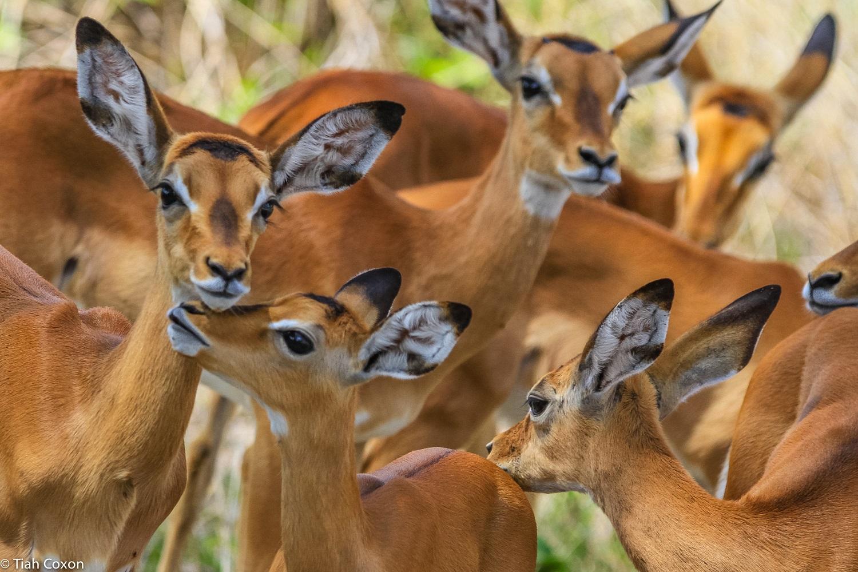 Gazelle-tarangire park