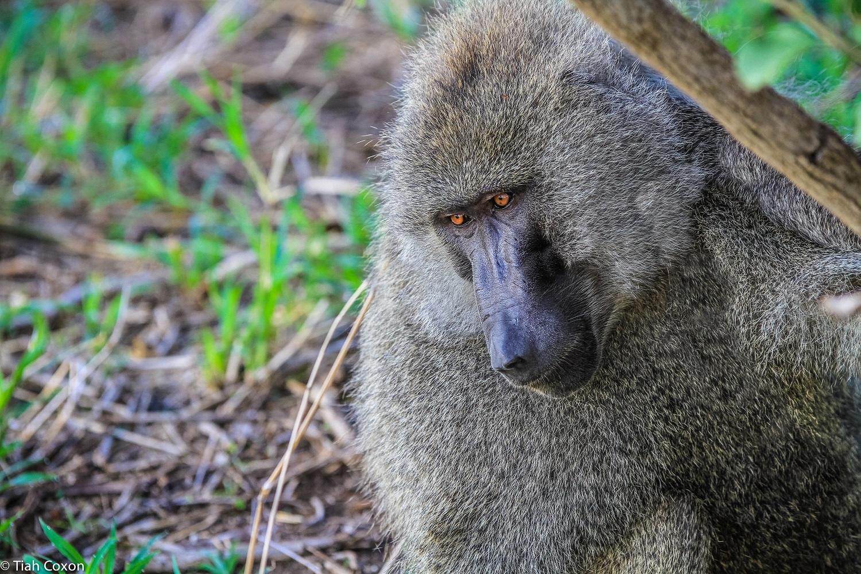 baboon_tarangire park