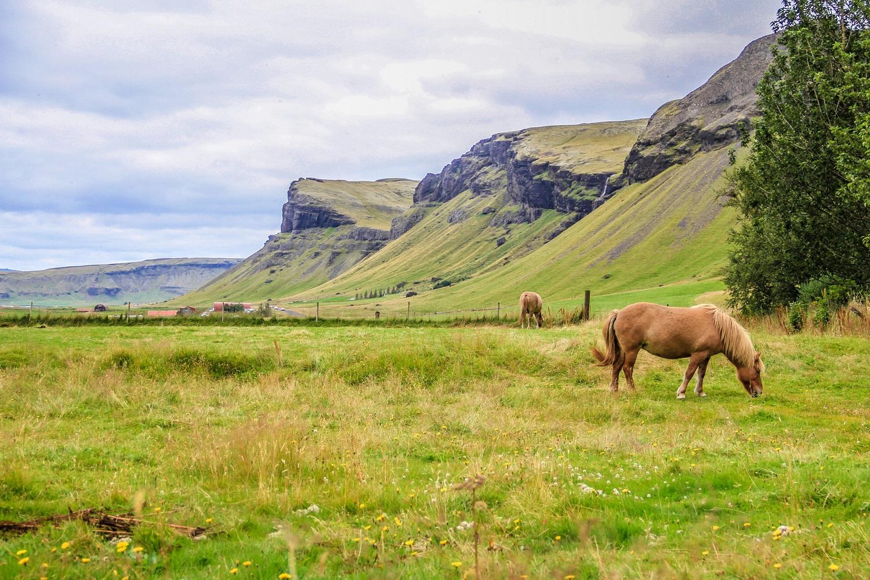 horse_iceland